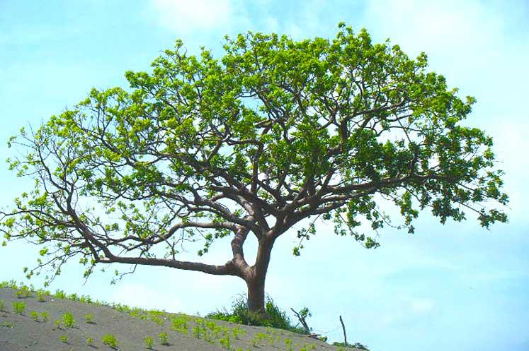 Almácigo o Bursera simaruba - Flora y Fauna Cubana - Cuba Tesoro