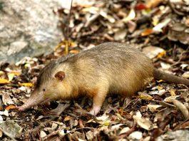 El almiquí es un mamífero insectívoro de hábitos nocturnos