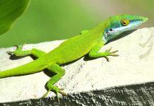 El Chipojo verde, es un reptil endémico de Cuba