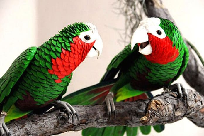 La cotorra presenta un plumaje con vistosos colores