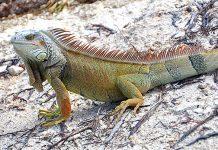 Iguana Cuba