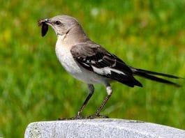 Sinsonte ave nativa de América del Norte