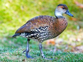 La yaguasa es un ave de caza del grupo de los patos