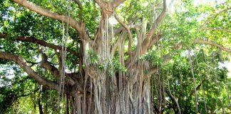 Jaguey Árbol de tronco fuerte y vigoroso