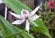 Orquídea Mariposa